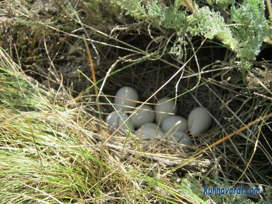 تخم های پرنده ، احتمالا کبک