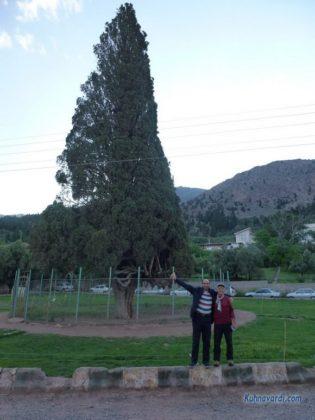 درخت سرو سه هزار ساله هرزویل