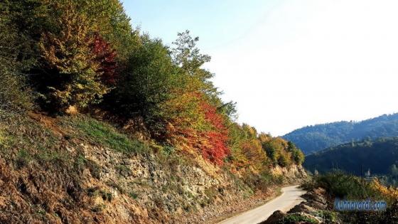 درخت انجیلی - Anjili - Parrotia_persica